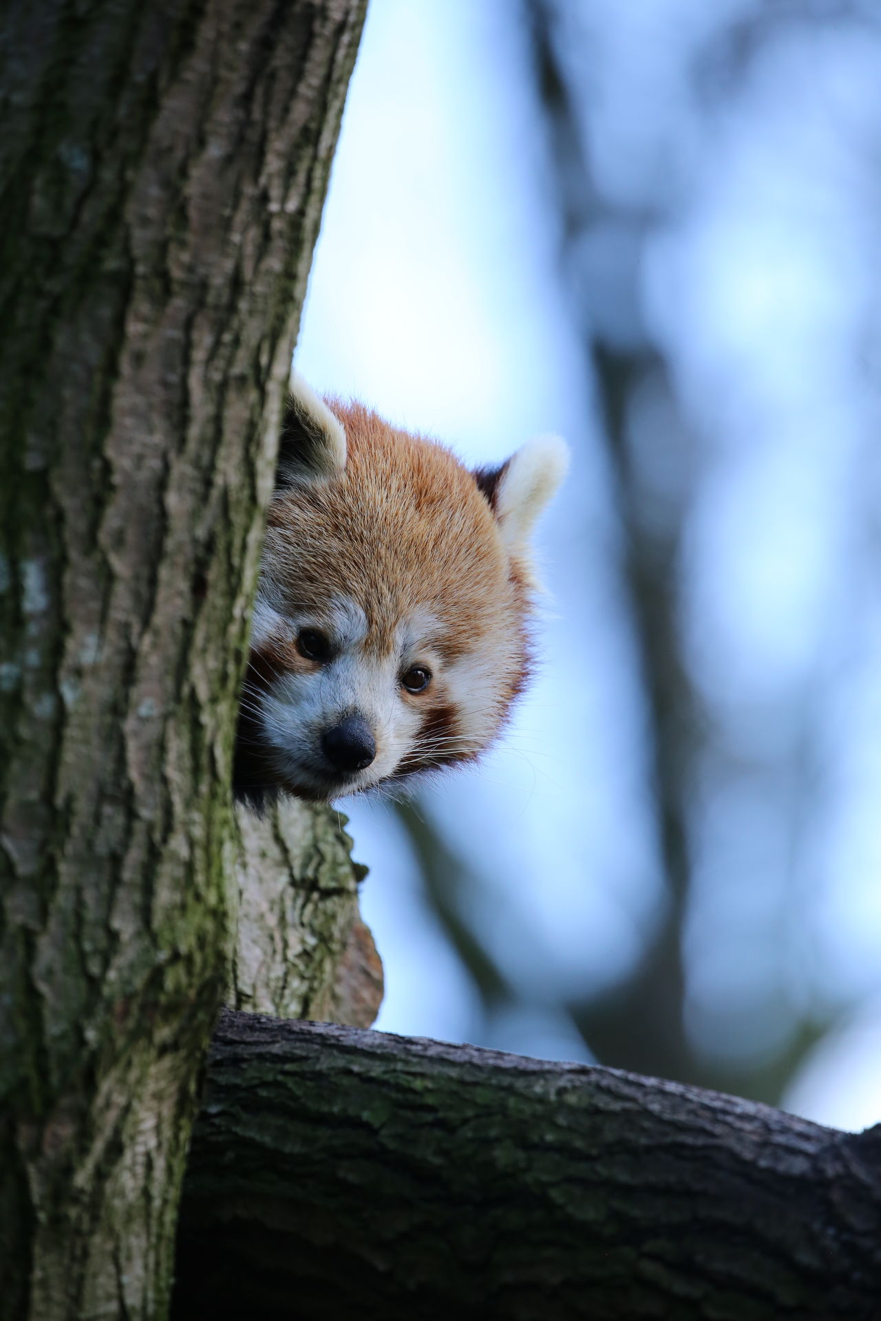 Animal Themes Animal Wildlife Animals In The Wild Day Focus On Foreground Mammal Nature No People One Animal Outdoors Red Panda Sneaking Tree Tree Trunk