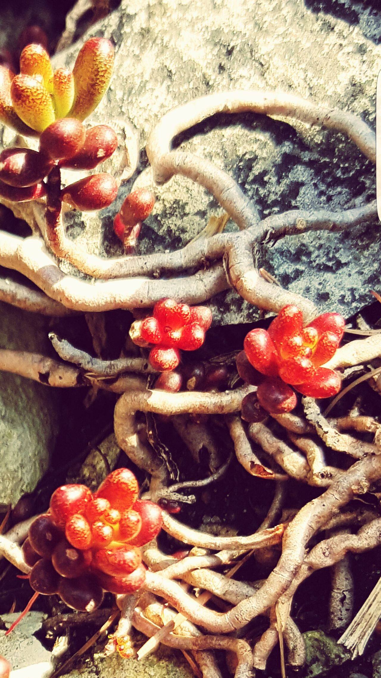 No People Close-up Outdoors Plant Roots Red Berrys
