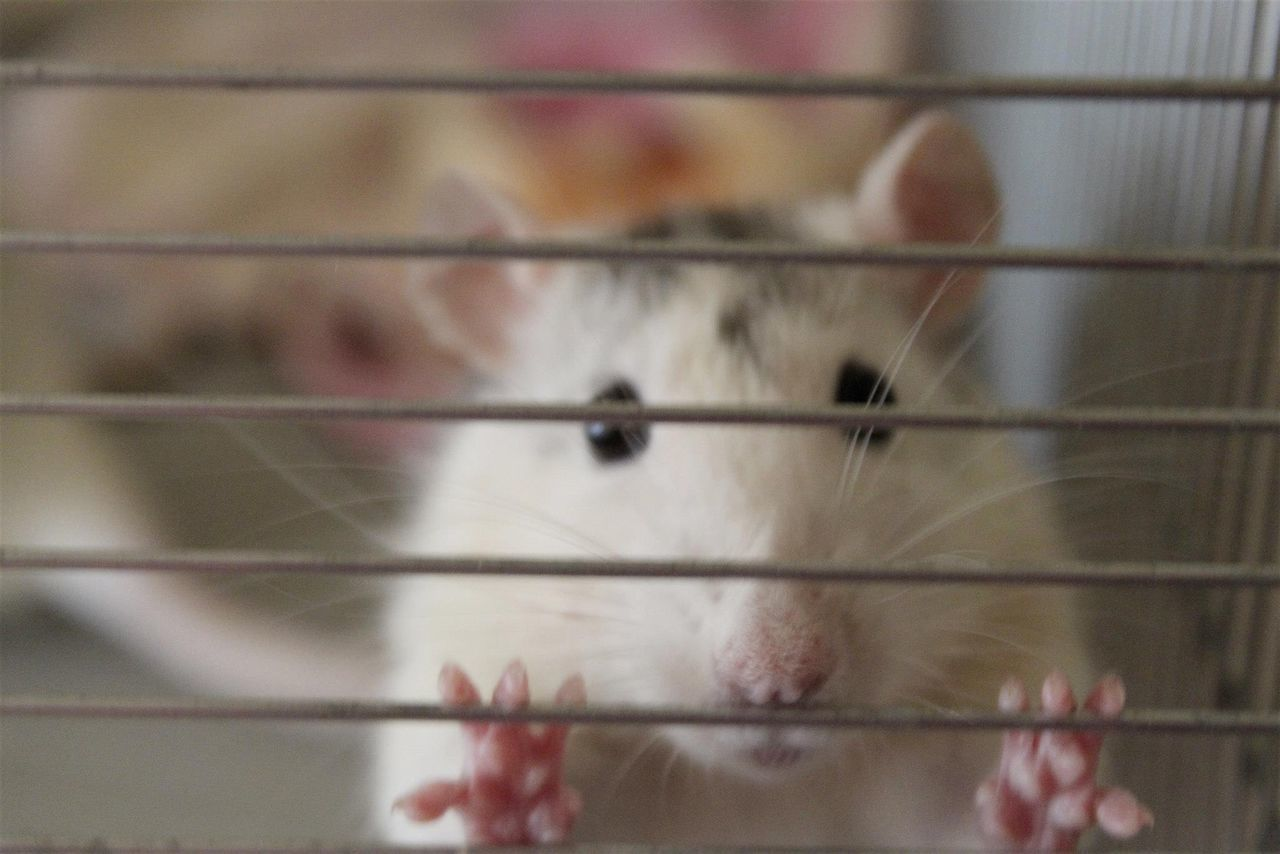 Close-Up Of White Rat Seen Through Cage