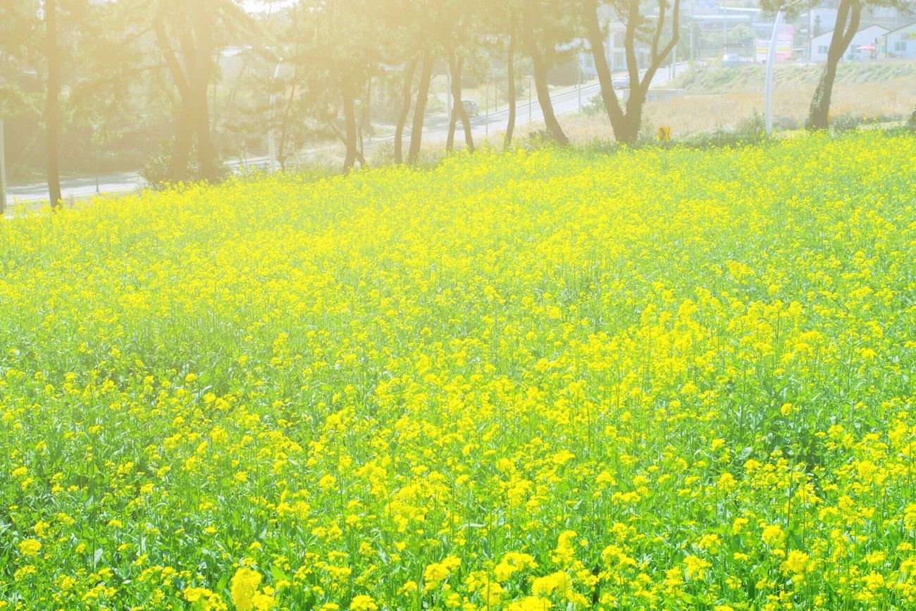 간절곶 유채 // Rape flowers // Hanging Out Hi! Hello World Enjoying Life Photo Holiday Holidays Taking Photos Walking Around