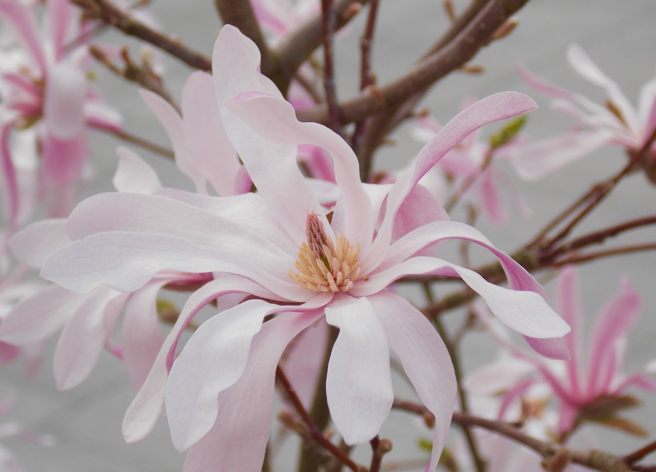 Pink Magnolia Naturelover Flowers, Nature And Beauty Springtime Nature_collection