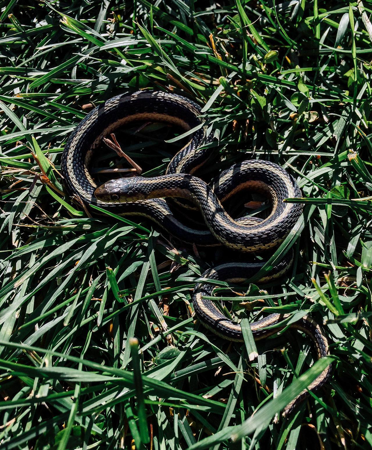 Curling Gartersnake Grass Grass Grassy Herpetology Reptile Slither Slithery Little Snake Snake
