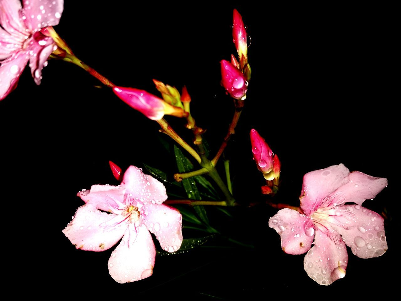 flower, petal, pink color, flower head, fragility, growth, black background, beauty in nature, nature, plant, no people, freshness, close-up, night, blooming, outdoors, periwinkle, water