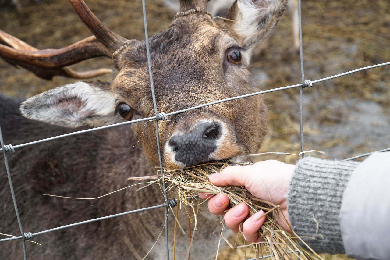 Feeding deer, doe, roe, elk - in nature reserve Grab Animal Themes Deer Doe Domestic Animals Eating Elk Eye Feeding  Feeding  Feeding Animals Fence Horn Human Body Part Human Hand Livestock Mammal Mouth Nature Nose Portrait Roe Deer Roé Wildlife Young Animal