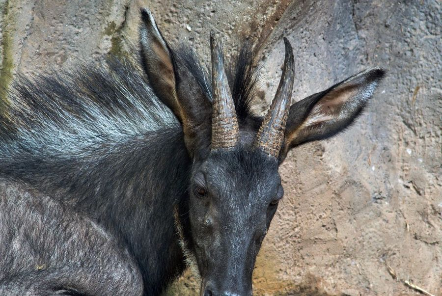 Animal Head  Animal Themes Animal Wildlife Animals In The Wild Beauty In Nature Close-up Day Mammal Moose Nature No People One Animal Outdoors Serow