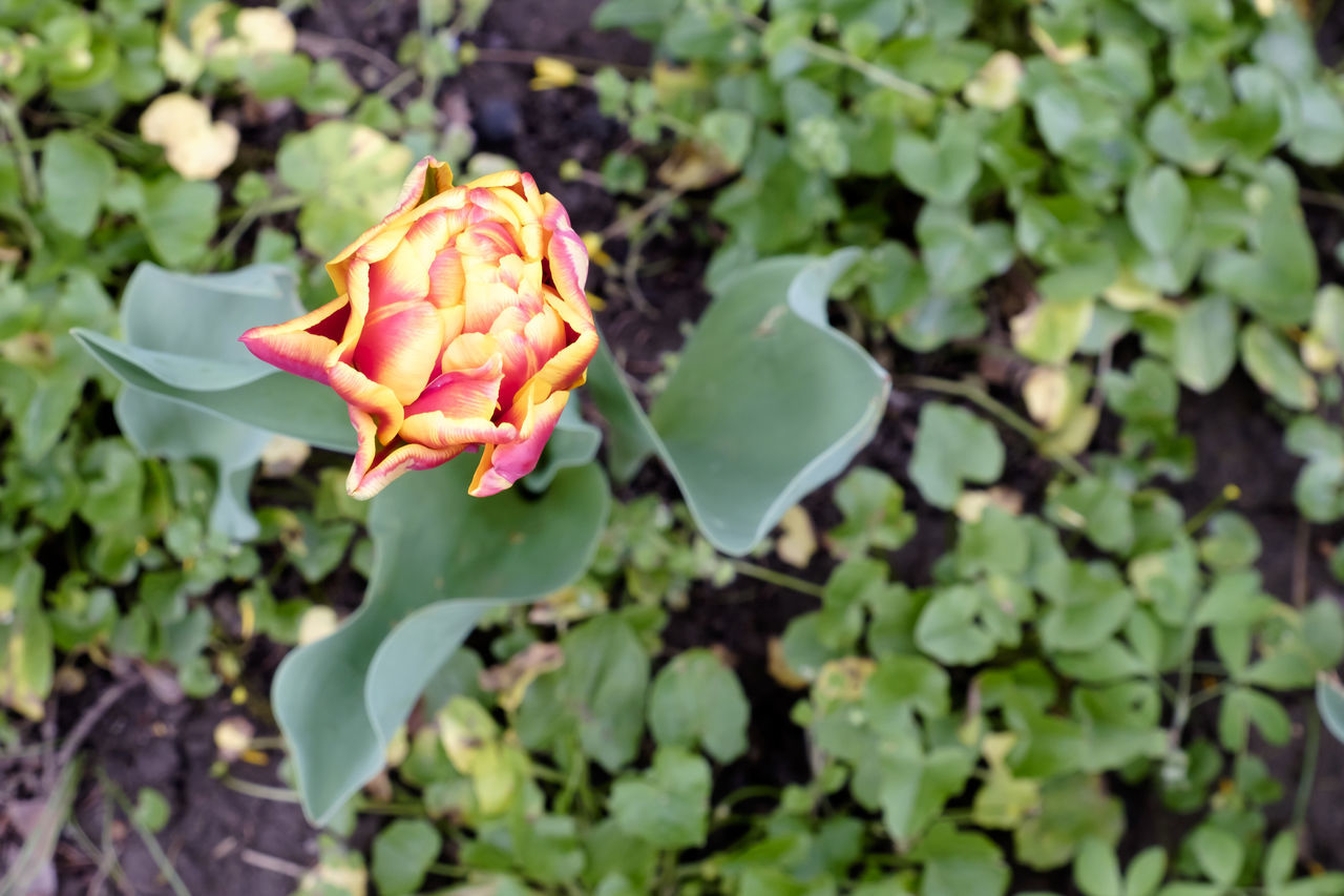 flower, fragility, growth, plant, nature, leaf, petal, beauty in nature, freshness, flower head, rose - flower, green color, no people, outdoors, close-up, day, blooming