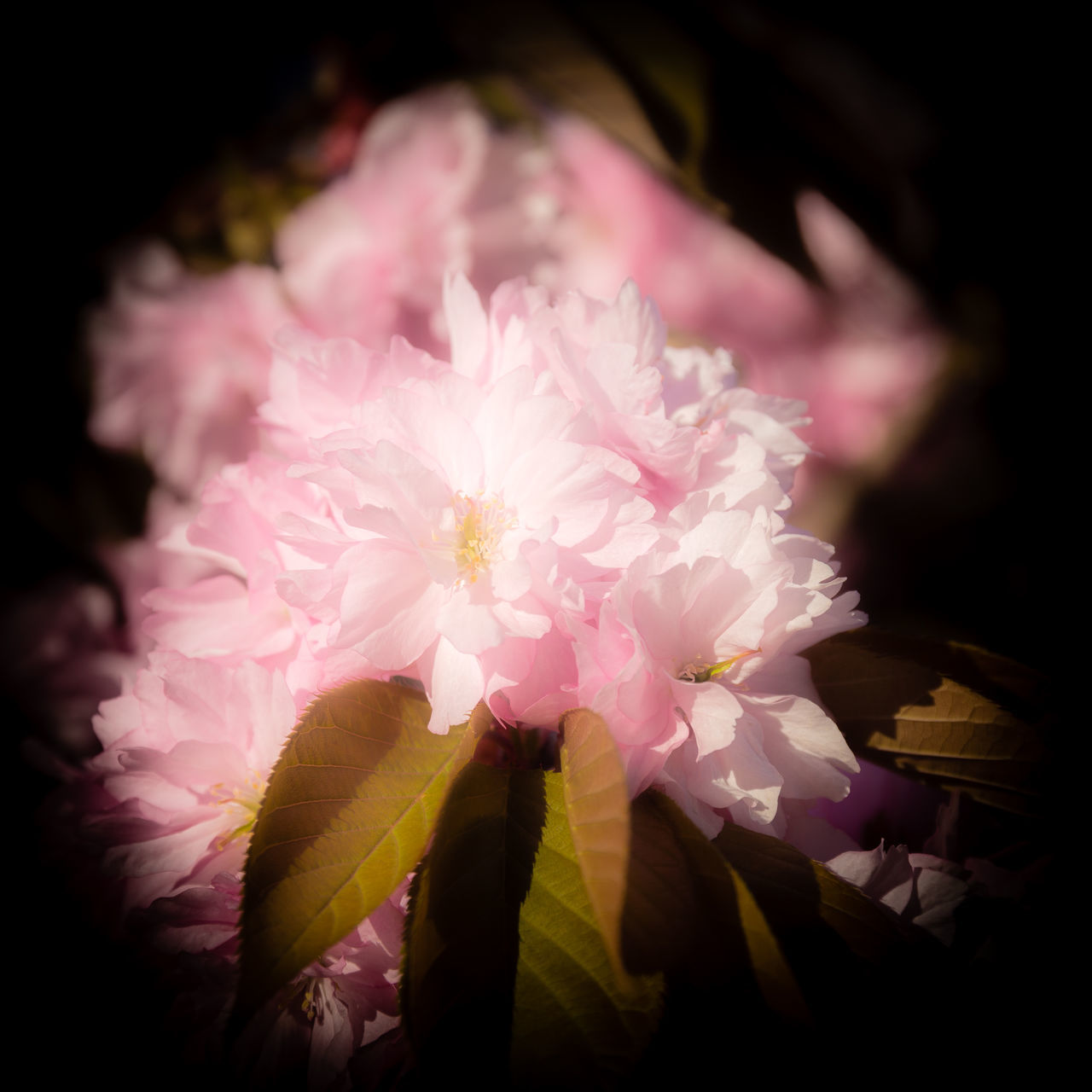 flower, pink color, petal, beauty in nature, flower head, nature, fragility, close-up, freshness, no people, growth, outdoors, day
