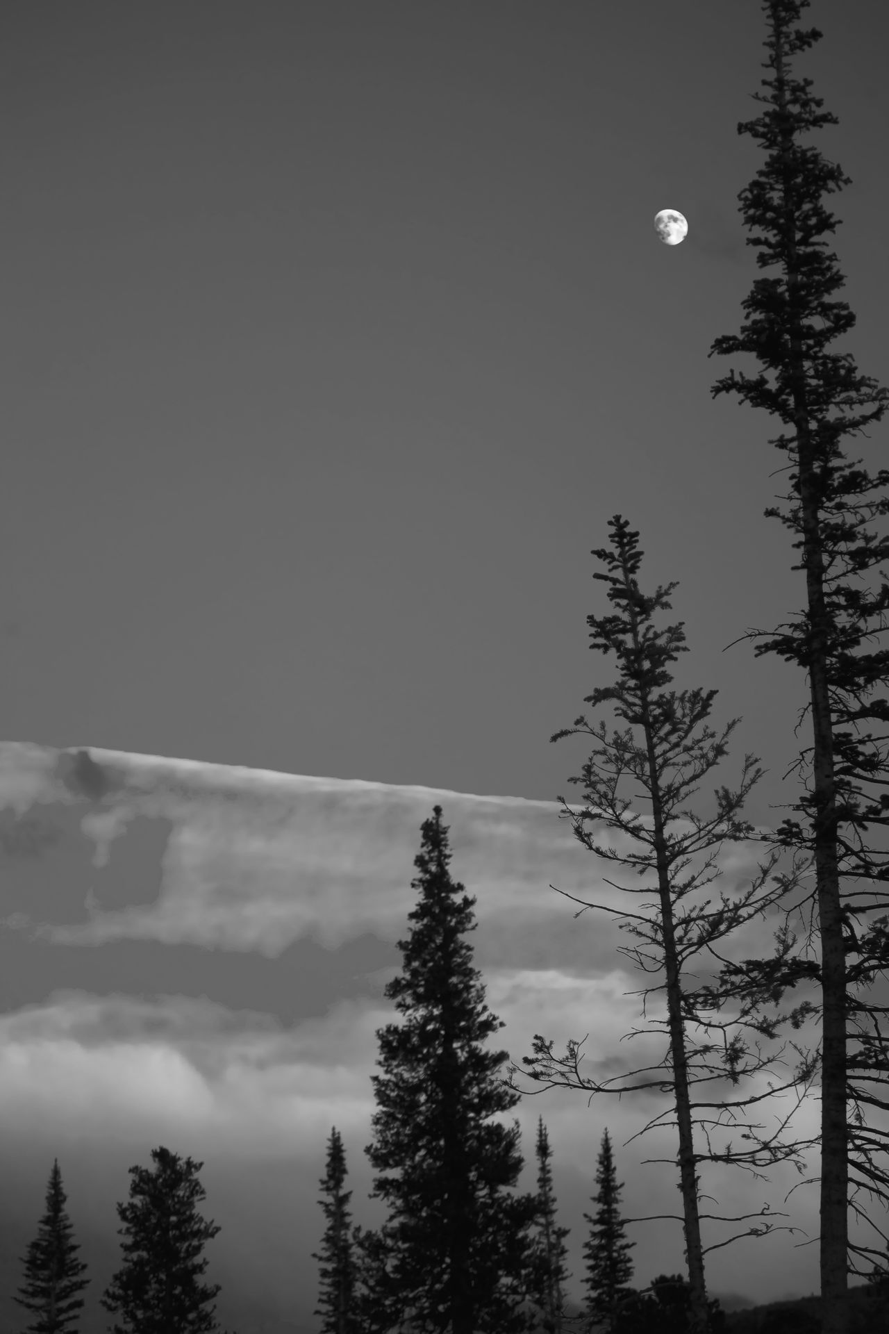 Moon sky and trees in black and white. Blackandwhite Lodge Pole Pine Moon Moonlight Rocky Mountains The Great Outdoors - 2016 EyeEm Awards The Great Outdoors With Adobe