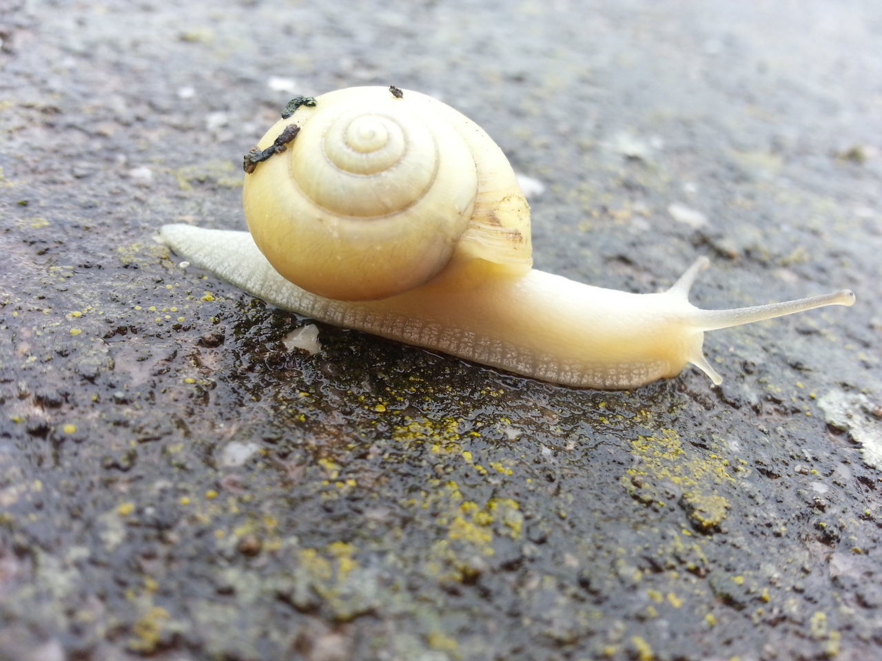 Animal Themes Animals In The Wild Close-up Day Escargot Garden Snail Gastropod Horizontal Nature No People One Animal Outdoors Snail