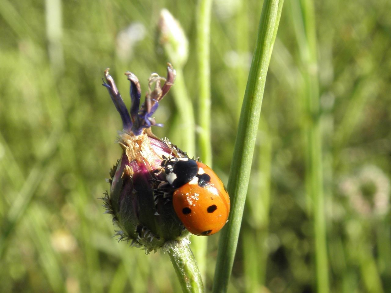 Beatle Insect Animal Themes Animals In The Wild One Animal Close-up Nature Plant Focus On Foreground No People Outdoors Animal Behavior Day Beetle Grass Ladybug Ladybug Ladybird Lady Bird Ladybeetle Good Luck Fortune Cornflower Springtime Faded EyeEmNewHere