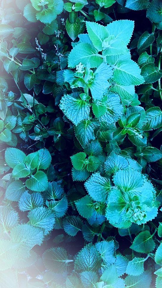 Hortelã Hortelã Pimenta Tempero Saúde✔ Alimentacao Verde Natureza