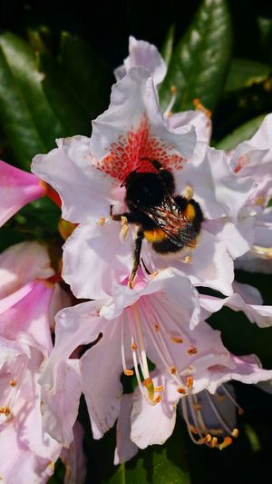Bumblebee Rhododendrons Rhododendronblossoms Rhododendron Naturephotography Naturephotos Naturelovers Follow #f4f #followme #TagsForLikes #TFLers #followforfollow #follow4follow #teamfollowback #followher #followbackteam #followh Nature Photography Eyeemphotography Nature_collection Nature_perfection Eye4photography  Tagsforlikes Natureporn Nature Close-up EyeEm Nature Lover EyeEm Best Shots - My Best Shot Eyemphotography Beautiful Nature EyeEm Best Pics EyeEmBestPics EyeEm Best Shots - Nature EyeEm Best Shots