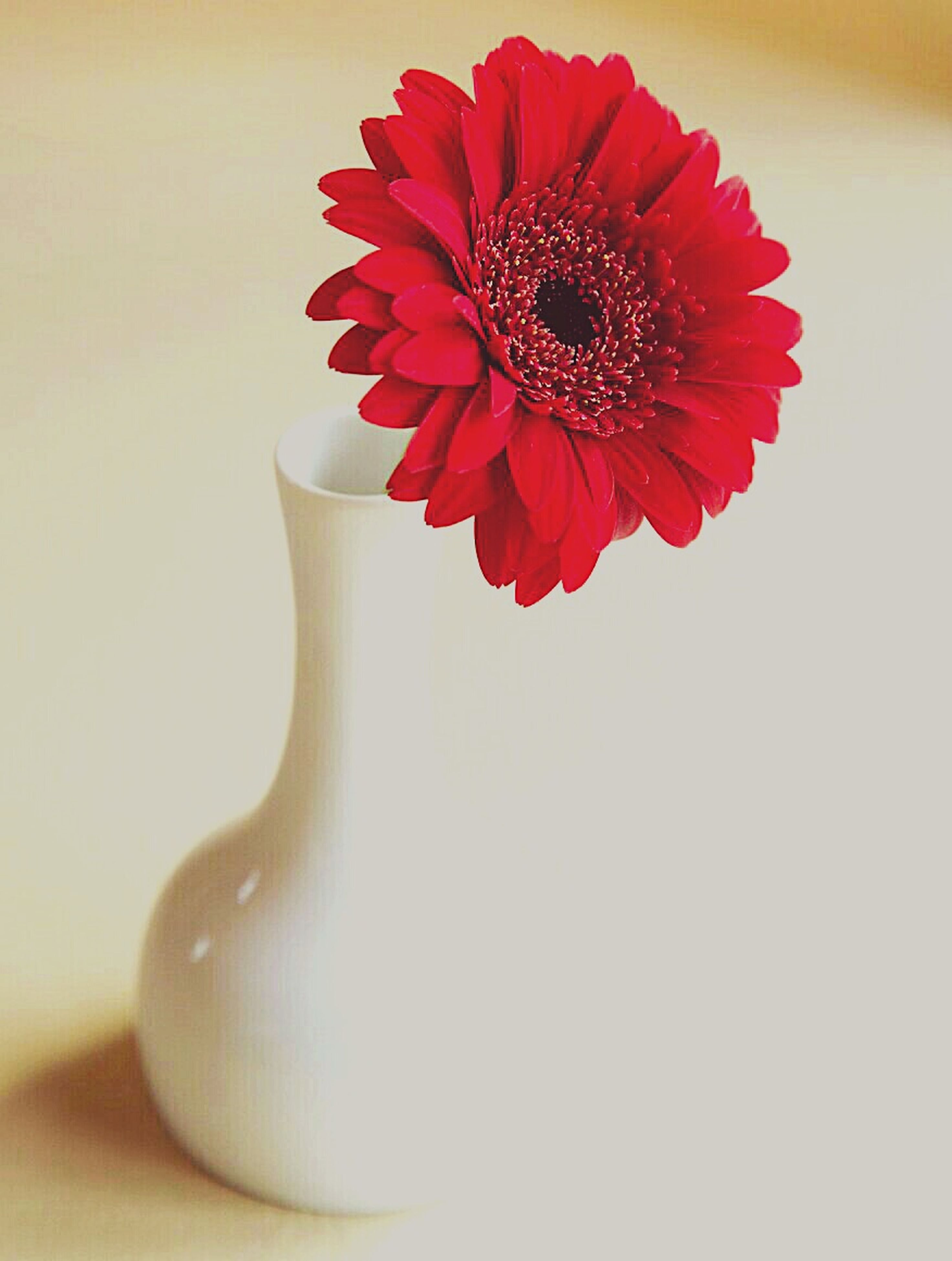 red, flower, studio shot, petal, flower head, white background, close-up, single flower, fragility, copy space, freshness, single object, indoors, no people, still life, beauty in nature, pollen, focus on foreground, white color, blooming