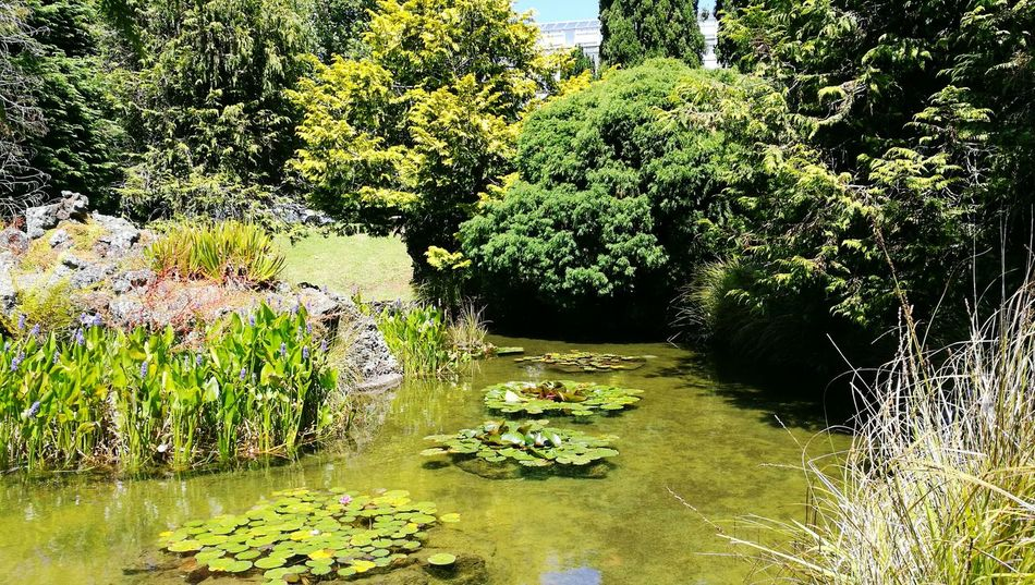 Growth Tree Nature Sunlight No People Plant Beauty In Nature Green Color Flower Day Outdoors Freshness Lily Pond Auckland New Zealand Auckland Domain