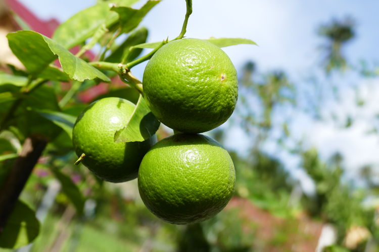 tropical fruits, Limes Beauty In Nature Branch Citrus Fruit Close-up Day Focus On Foreground Food Food And Drink Freshness Fruit Fruits In Thailand Green Color Growth Hanging Healthy Eating Leaf Lemon Lemon Tree Limes At The Tre Low Angle View Nature No People Thai Fruits Tree