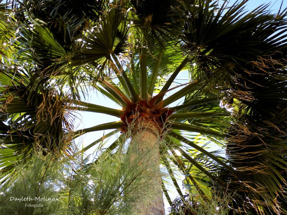 Angulo Beauty In Nature Day Eyem Gallery Eyem Nature Lovers  Eyemphotography Green Color Growth Low Angle View Nadir Nature Nature Nature Photography Nature_collection No People Outdoors Palm Tree Palma Sky Tree Tree Trunk