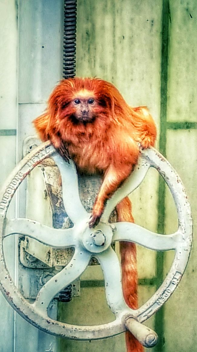 Monkey Business Orange Monkey Hanging Out Taking Photos Tiny Monkey Animal Themes Animal Photography Hello World Rainforest Hello Monkey Face Monkey Small Animals EyeEm Nature Lover Showcase April Golden Lion Tamarin Golden Marmoset Tamarin Fresno Ca