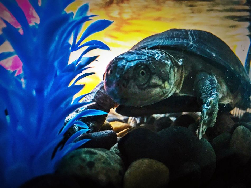 My pet turtle Freya. I think she likes me to photograph her. Animal Themes Animal Wildlife Underwater Blue Aquarium Close-up Nature Water Swimming Illuminated Water Reflections Multi Colored Iphoneonly IPhoneography Water Surface Turtle