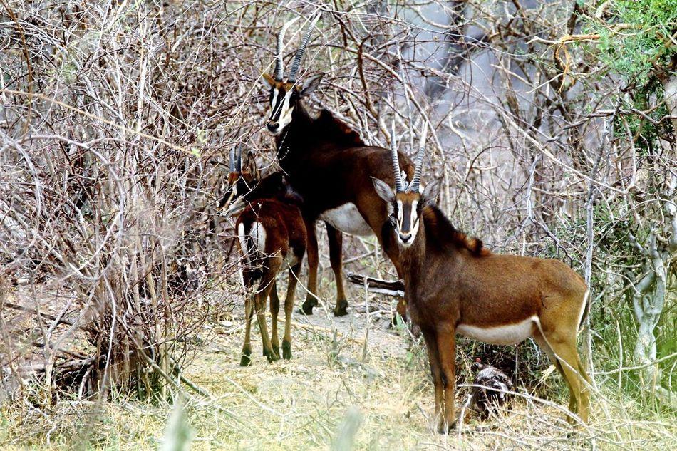 Animal Themes Sable Antelope Young Animal