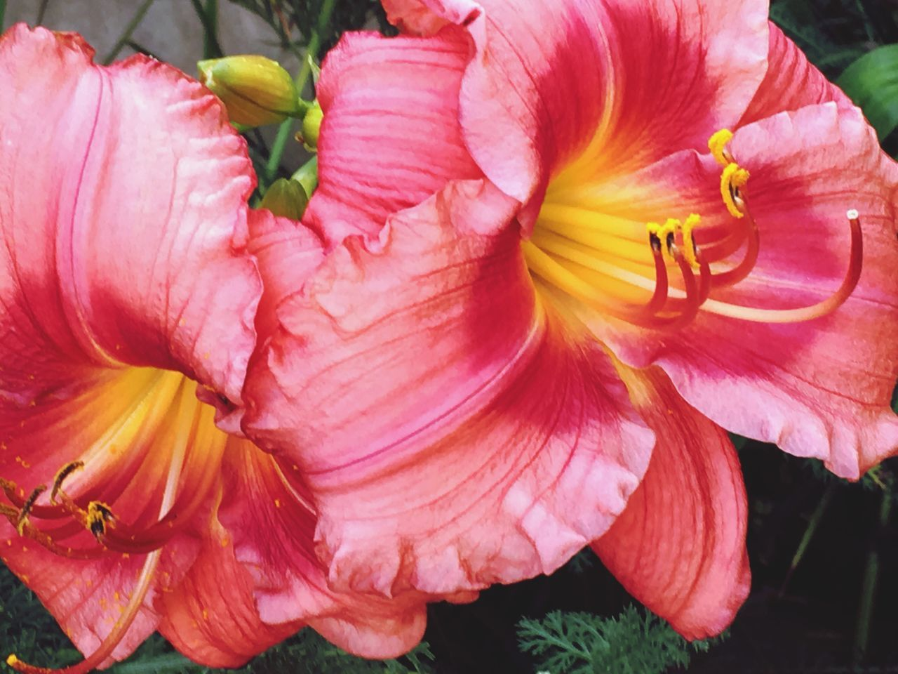flower, petal, flower head, fragility, beauty in nature, freshness, nature, close-up, no people, pink color, growth, blooming, stamen, day lily, outdoors, plant, day, hibiscus