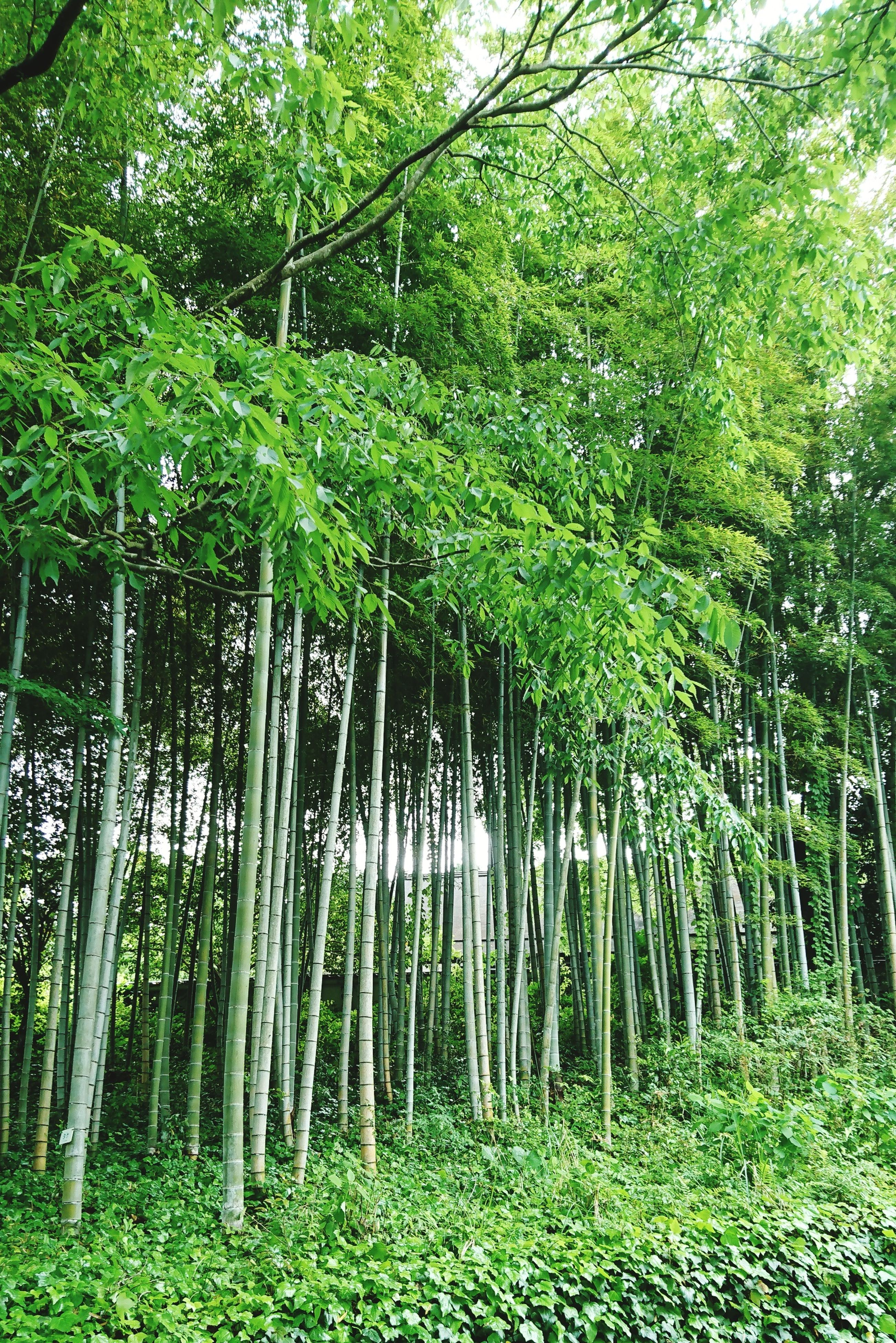 forest, nature, tree, growth, green color, green, bamboo - plant, bamboo grove, water, tranquility, outdoors, beauty in nature, no people, lush foliage, scenics, grass, day