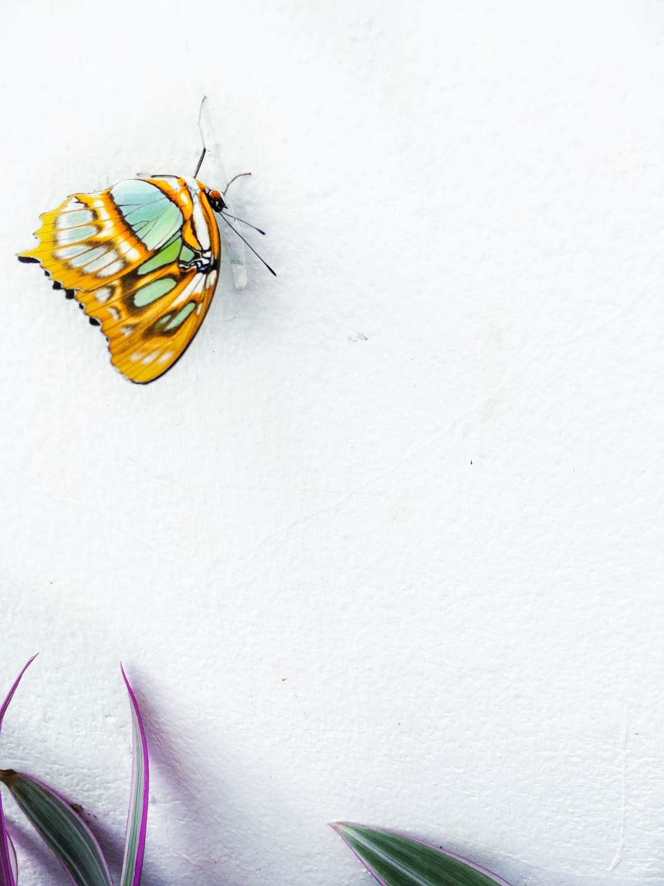 Butterfly Butterfly - Insect Butterflies Butterfly Collection Butterfly ❤ Butterflyporn White White Background Nature Insect Insects  Insect Photography Animals Plant Plants