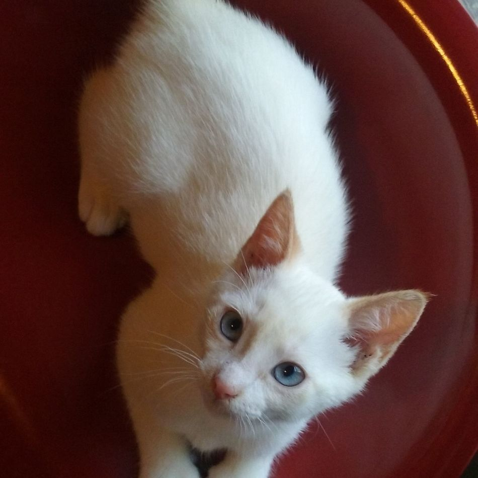 Animal Cats Of EyeEm Cats Queso Siamese Cat Siamesecats Cat Kittens Kitty Love Stunning Domestic Animals One Animal Animal Themes Domestic Cat Feline Mammal Pets White Cat Apricot Cat