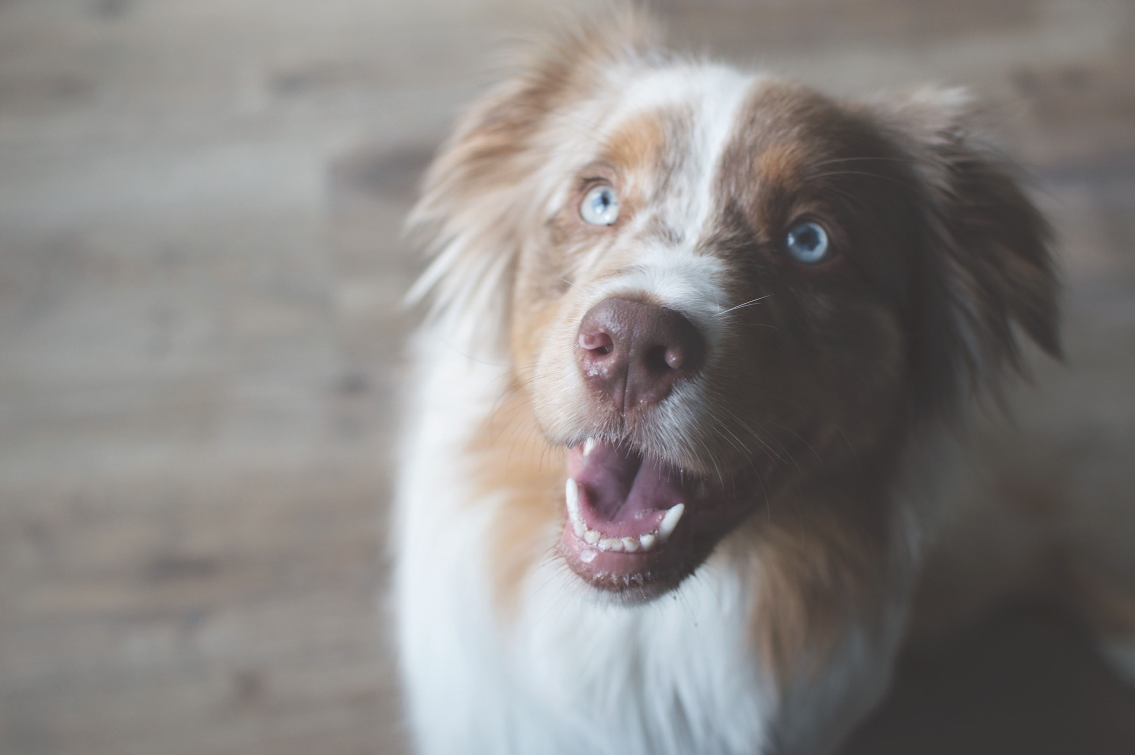pets, animal themes, one animal, domestic animals, dog, mammal, focus on foreground, close-up, looking at camera, portrait, animal head, animal hair, sticking out tongue, no people, mouth open, animal body part, day, cute, front view
