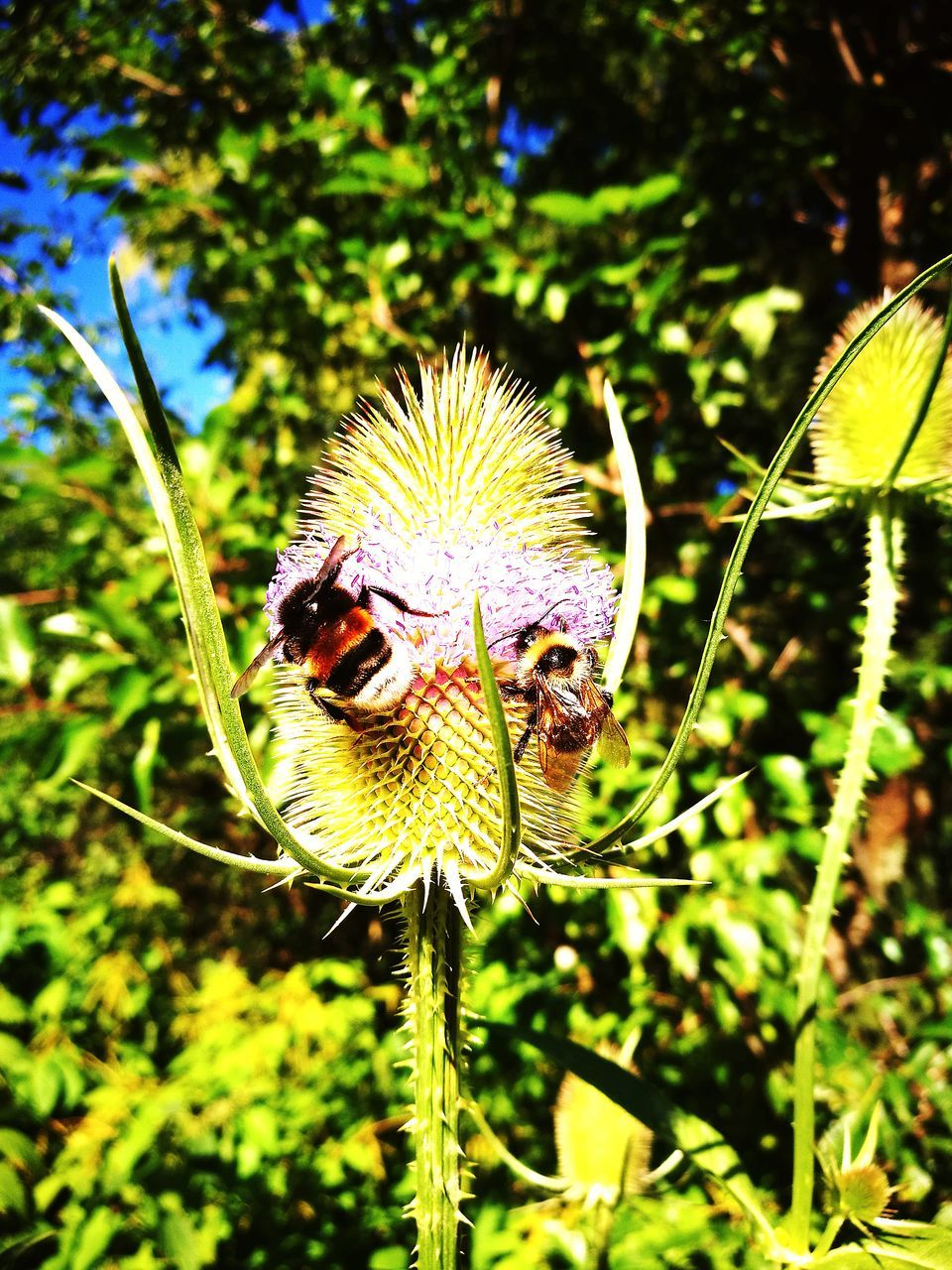 nature, flower, growth, fragility, insect, plant, beauty in nature, focus on foreground, one animal, close-up, outdoors, day, animal themes, no people, animals in the wild, flower head, thistle, bee, freshness, pollination
