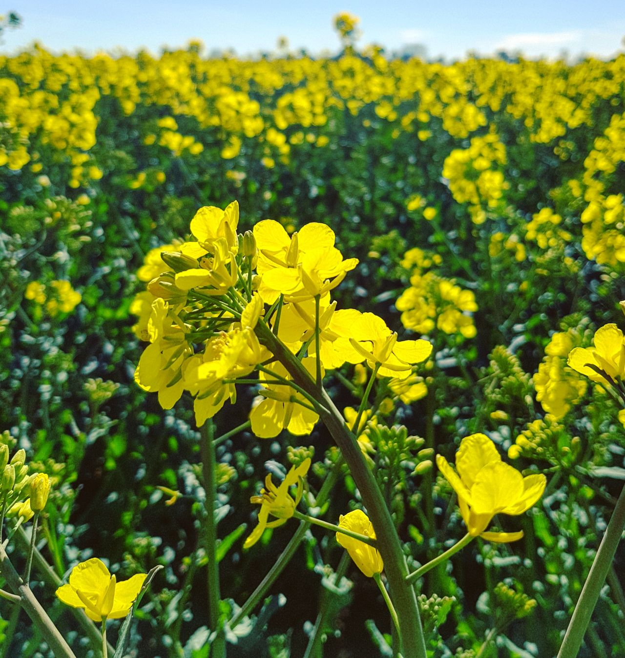 Yellow Flower Plant Growth Nature Beauty In Nature Day No People Outdoors Petal Fragility Green Color Freshness Close-up Leaf Flower Head Sky