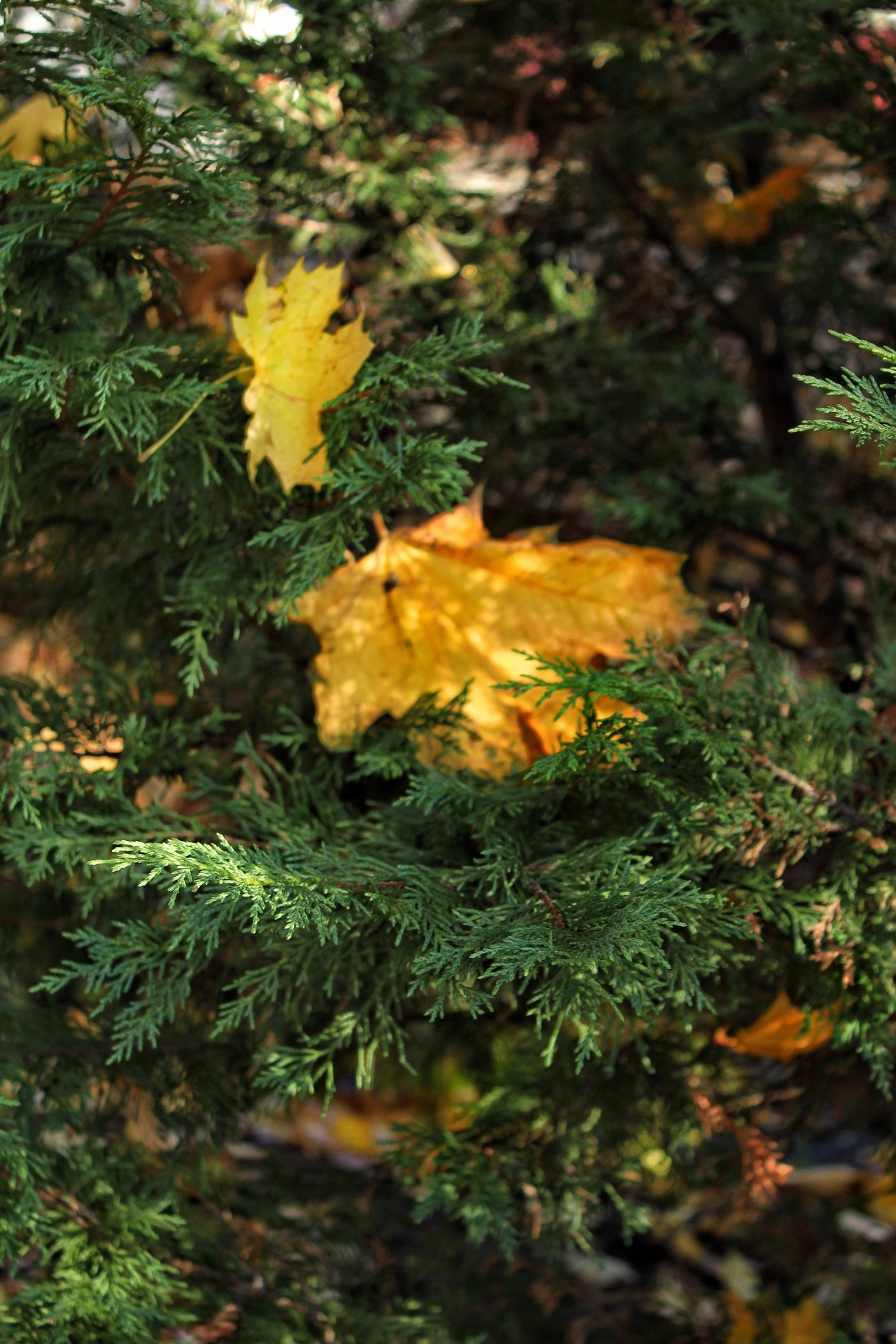 Beauty In Nature Shadows And Light Autumn Leaves Conifers Color Photography