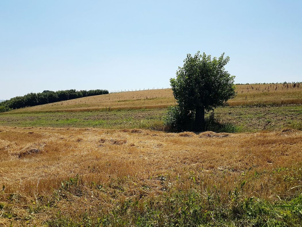 Agriculture Field Growth Rural Scene Tree No People Outdoors Nature Day Clear SkyGrowth Cereal Plant Tree Sky Langhe Piedmont Italy Cereal Crops Tranquility Nature Textures Travel Destinations