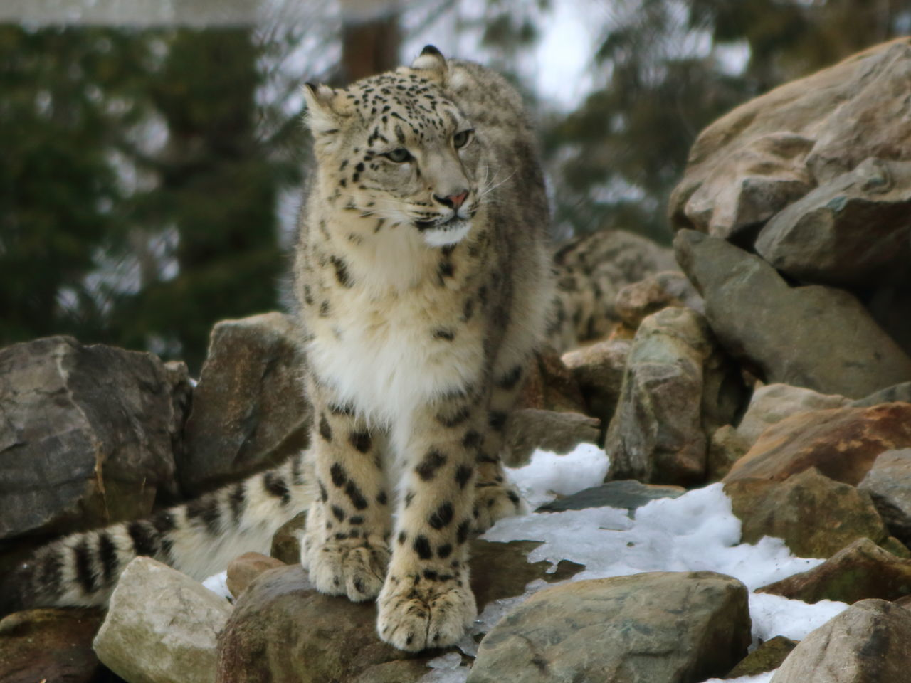 Animal Themes Animal Wildlife Animals In The Wild Cat Cats Feline Leopard Nature One Animal Outdoors Rock - Object Snow Leopard