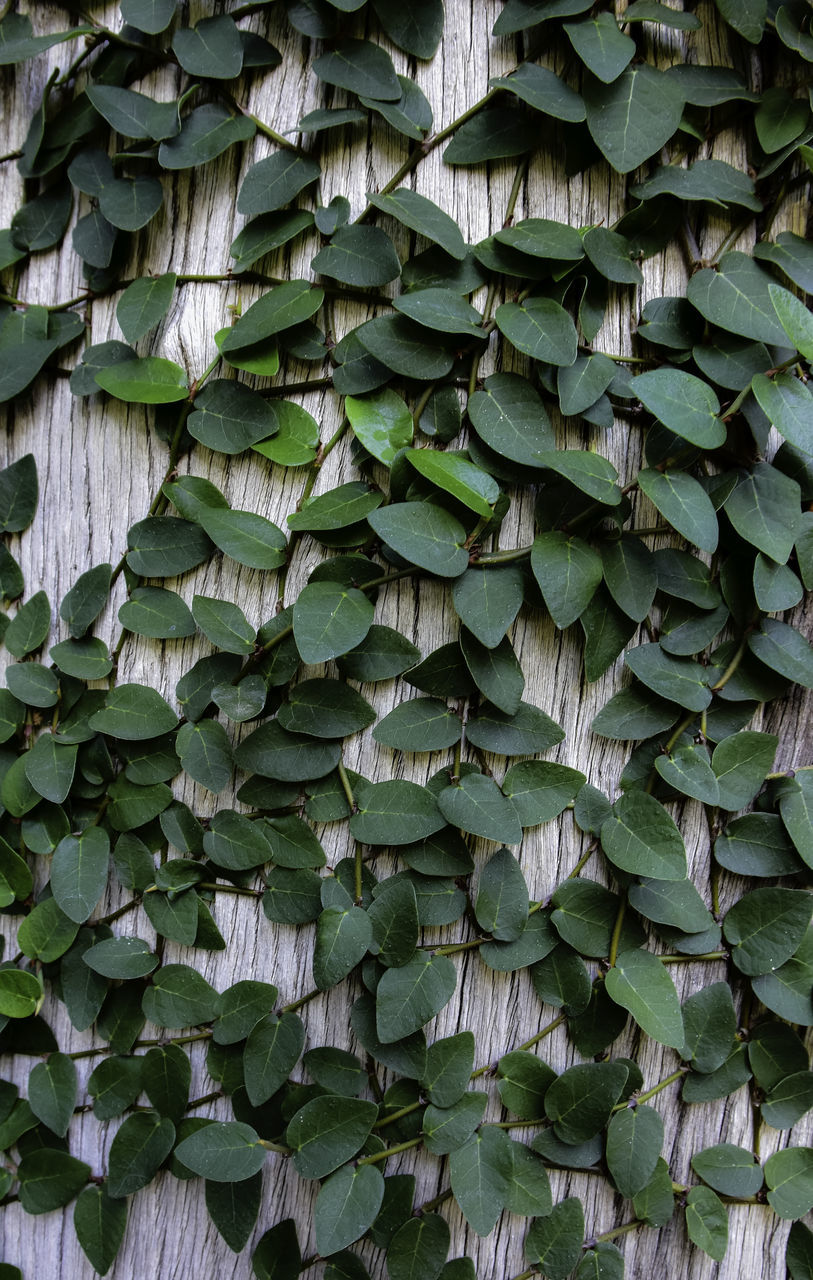 green color, backgrounds, full frame, leaf, growth, outdoors, day, no people, plant, abundance, pattern, close-up, ivy, nature, textured