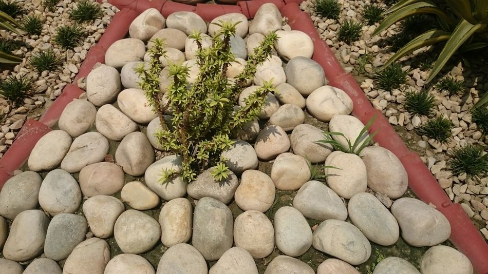 A cactus plant in an outside decoration, with pebbles covering the surface and the plant emerging from between the pebbles Beauty In Nature Cactus Plant Cactus Plant Among Stones Cactus Plant In Ground Greenery Growth Nature Outdoor Decoration Outdoors Pebble Pebbles Plant Plants Round Stones Stones Stones And Pebbles