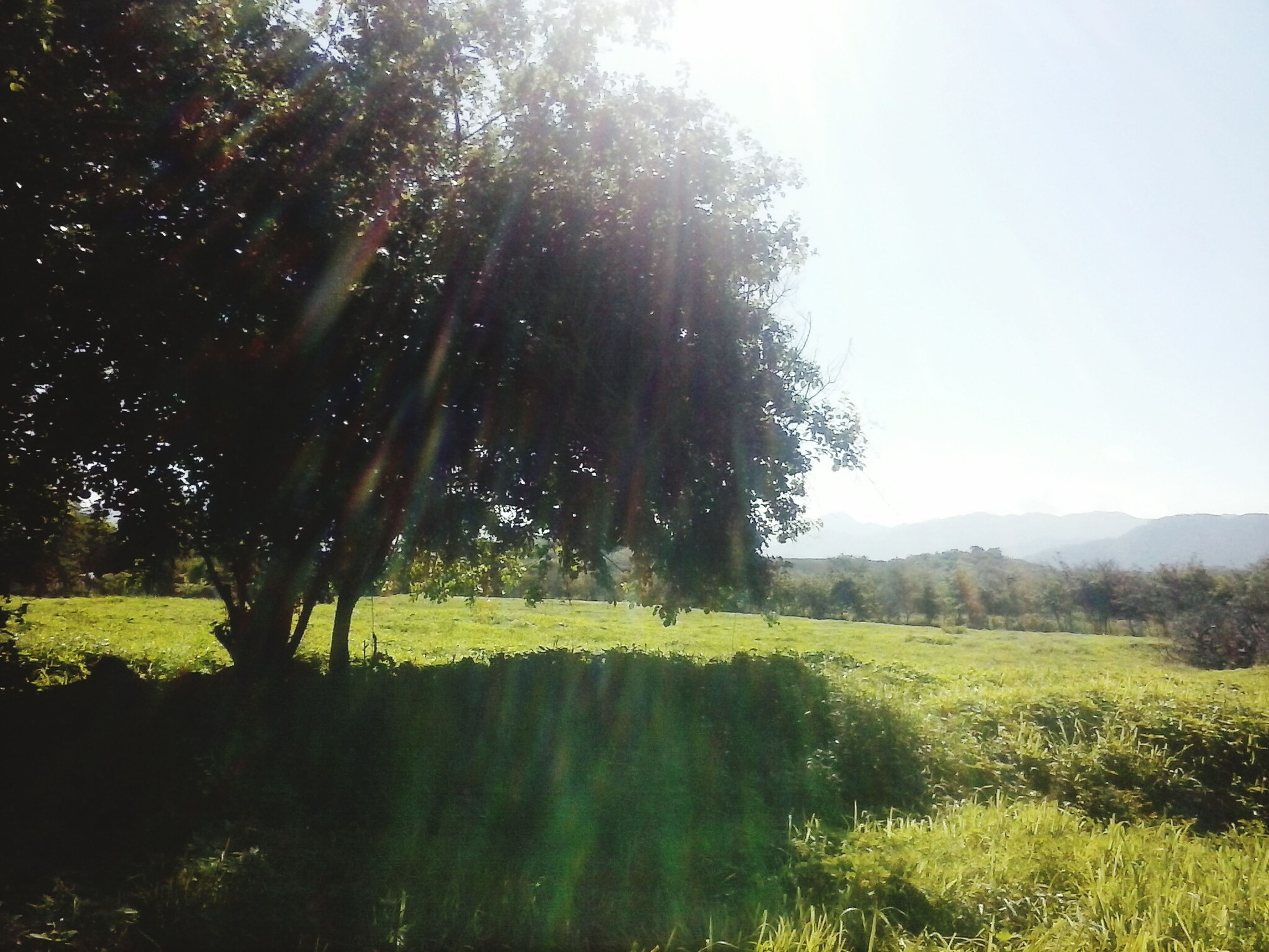 tree, nature, tranquility, tranquil scene, beauty in nature, sunbeam, sunlight, landscape, grass, scenics, no people, field, growth, outdoors, day, forest, clear sky, sky