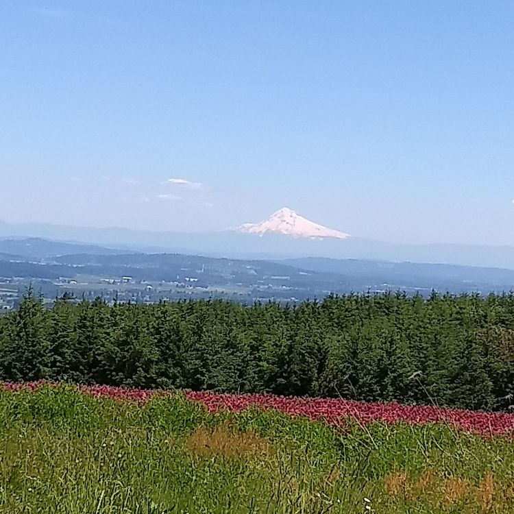 Beauty In Nature Nature Field Outdoors No People Scenics Agriculture Sea Day Sky Flower Summer Rural Scene Tranquility Landscape Growth Mountain Freshness Water Clear Sky Mt Hood Tranquil Scene Oregon Beauty Country Road FuschiaPinkFlowers