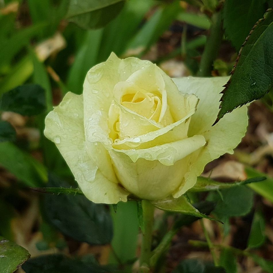 Rose - Flower Nature Flower Plant Growth Beauty In Nature Close-up No People Outdoors Horizontal Flower Head Day God's Handiwork  Creation Not Evolution South Africa 🇿🇦 Rose🌹