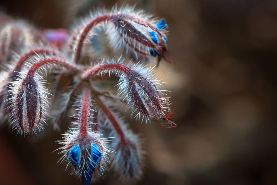 Borage in my garden Blossom Blue Borage Button Up Close-up Flower Flowers Garden Macro