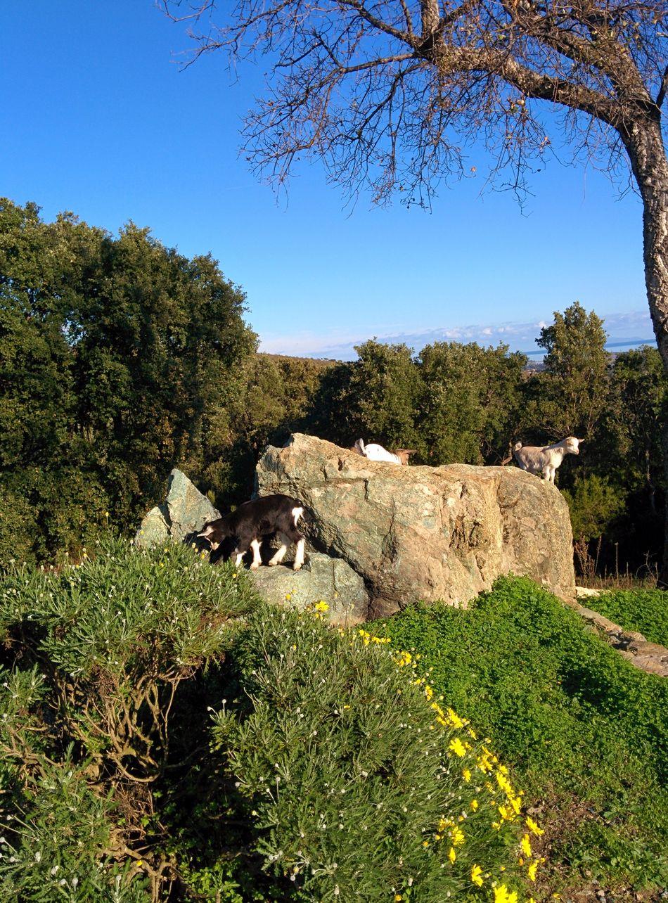 Chèvres Printemps Corse