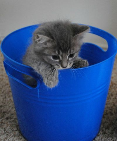 """Kevin"" playing in his bucket. Alertness Animal Head  Blue Cat Close-up Cute Day Domestic Animals Domestic Cat Feline Focus On Foreground Mammal Nature Pets Portrait Whisker Close Up Photography Kitten Playing Blue Bucket Interior Photography Nikon D3000 Kitten Adorable Kitty!  Growing Up"