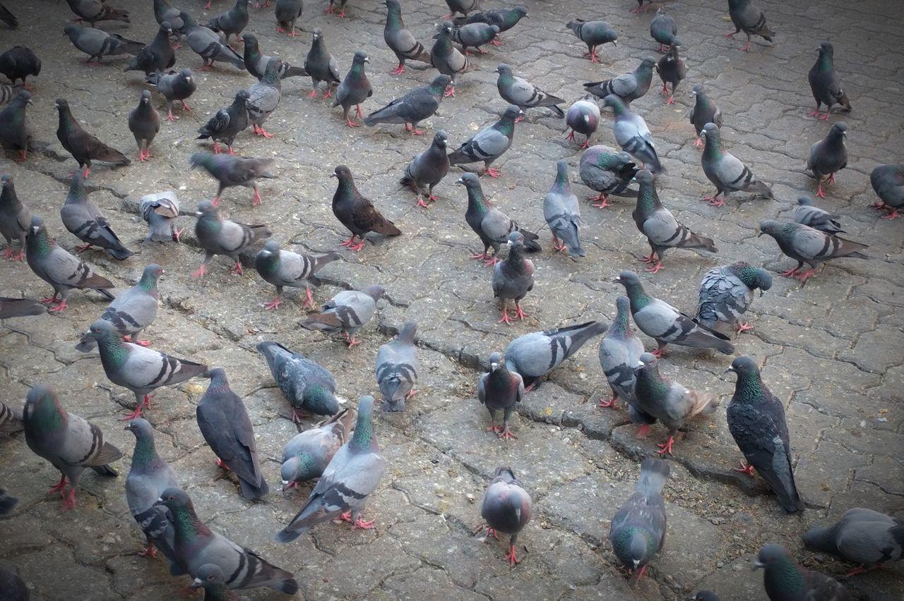 Pigeons Everywhere pigeons birdsPigeons Birds_collection Pigeonslife Pigeons On The Road Pigeon Eating Birds Of EyeEm  Bird Lovers Birds In The City Pigeon Bird