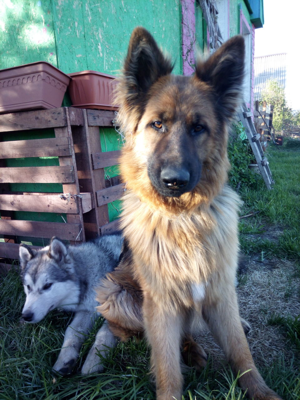 pets, dog, domestic animals, animal themes, mammal, looking at camera, one animal, portrait, no people, grass, german shepherd, sitting, day, outdoors, close-up