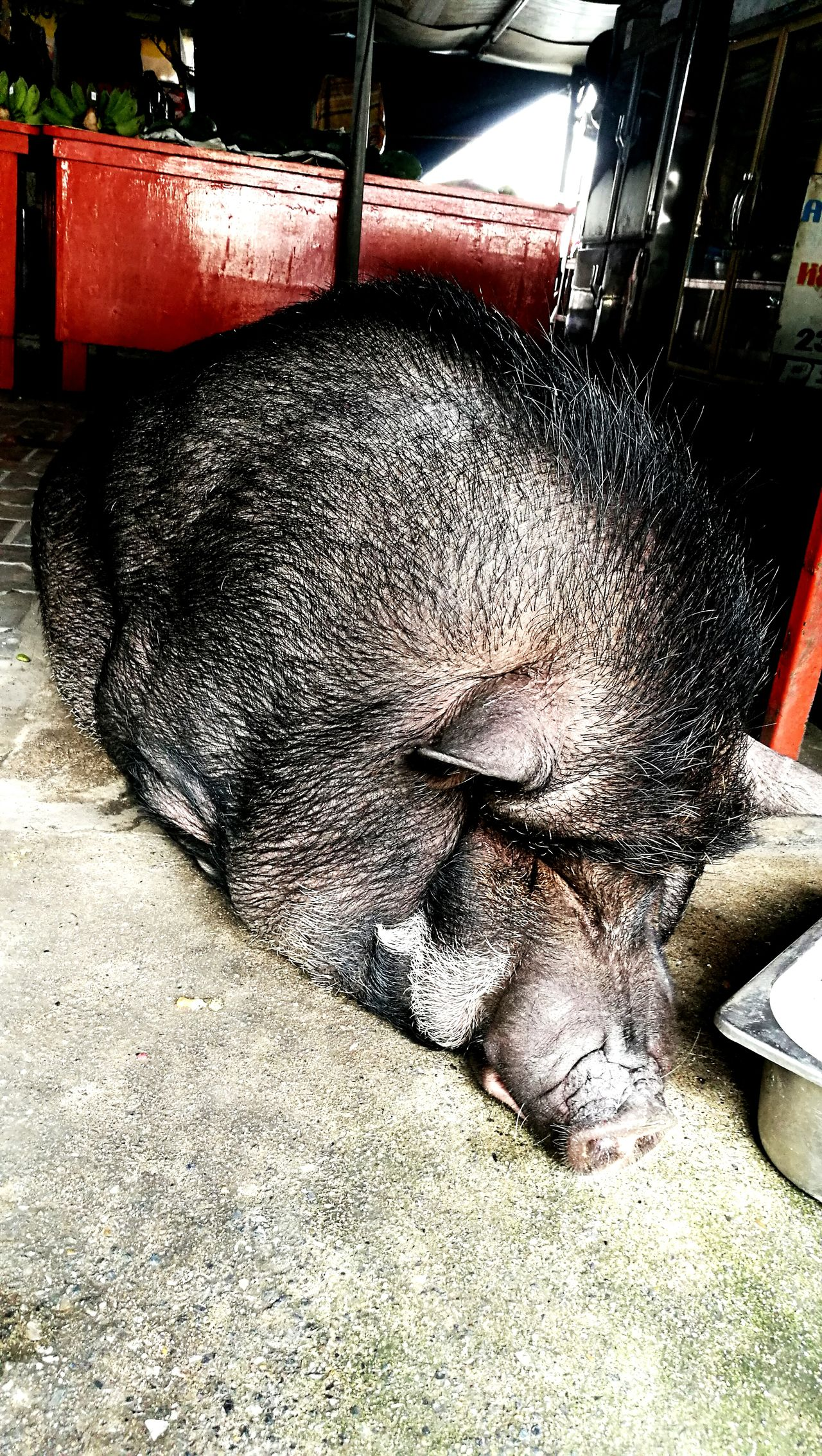 Pig Wildboar Fatpigs Mammal Wild Animals Wild Life