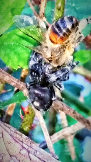 Spider Eating Honey Bee Dinner Time Spider Insect Photography Bugs Nature Photography Macro Photography Outdoor Photography Macro Nature Macro Beauty Macro