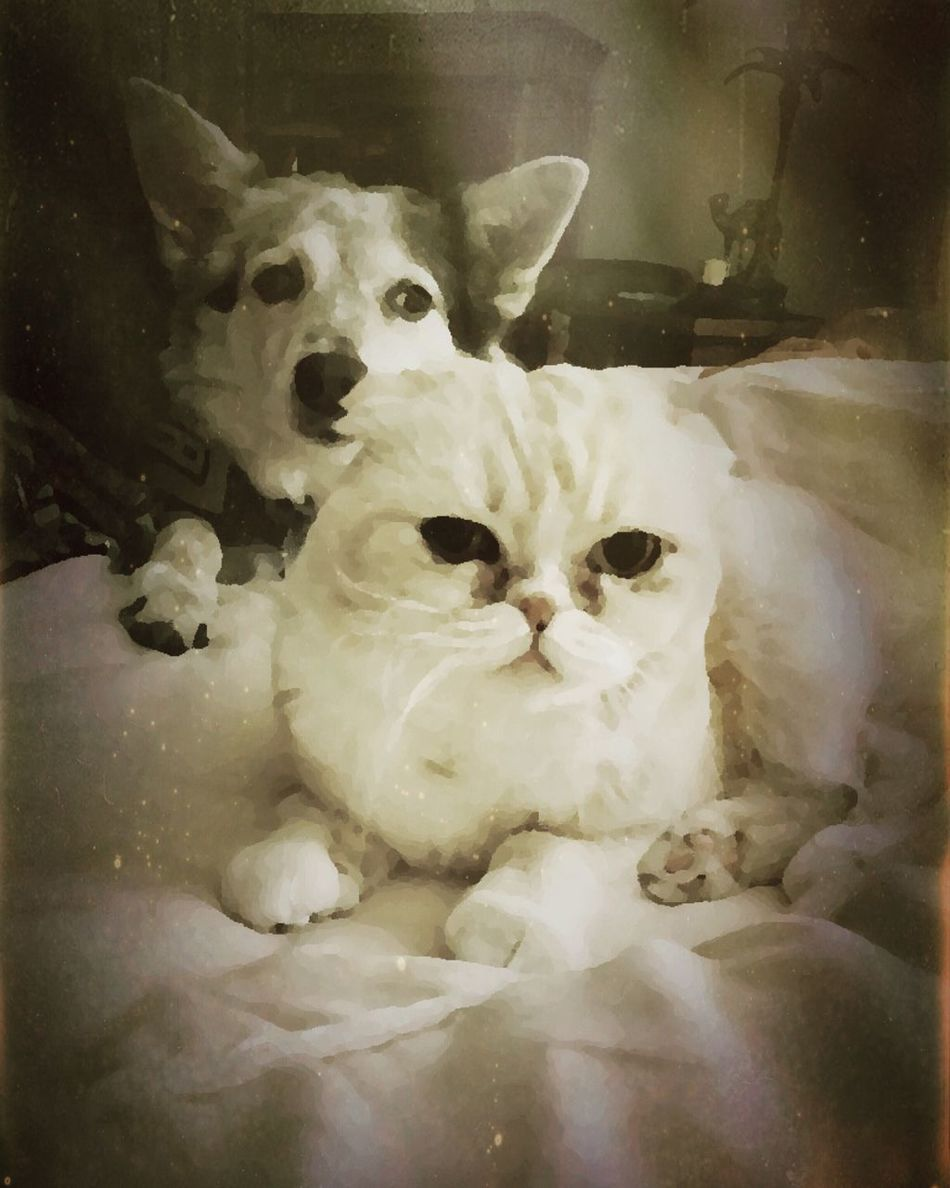 Cara and Suzie looking after granny Domestic Animals Cats Cat Cats Of EyeEm Cat Lovers Catsofinstagram Catsagram Dogs Dog Dog Love Dogs Of EyeEm Animal Themes One Animal Indoors  Mammal No People Close-up Pets Portrait Day Dogslife Dogstagram Scottishfold Healer Dogsofinstagram