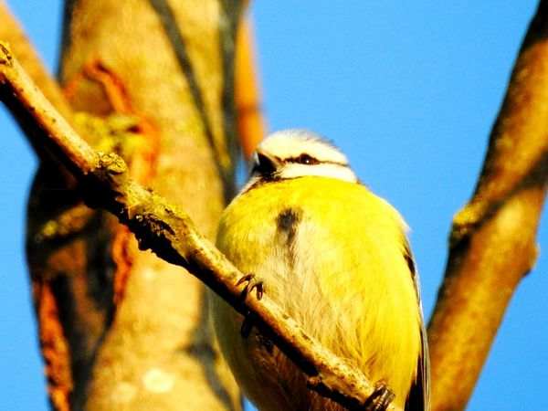 Bird Animal Wildlife One Animal Animal Themes Animals In The Wild Animal Body Part Tree Outdoors Nature Day No People Perching Close-up Sky Beauty In Nature Beak Nature Tree Branch Animals In The Wild Pride Proud Tomtit Little Bird Colourful Bird EyeEmNewHere The Great Outdoors - 2017 EyeEm Awards Paint The Town Yellow