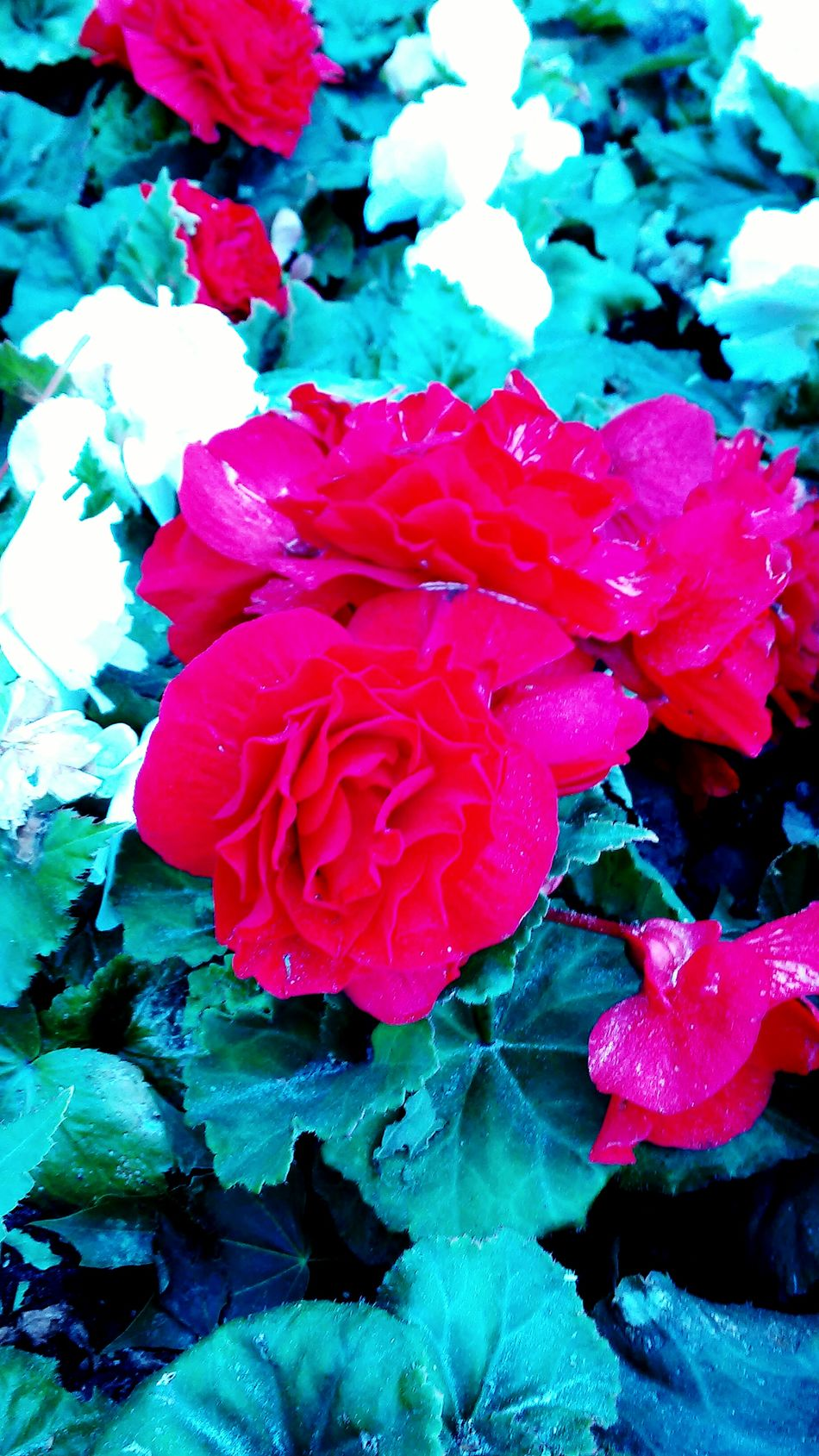 Red Rose Floeer