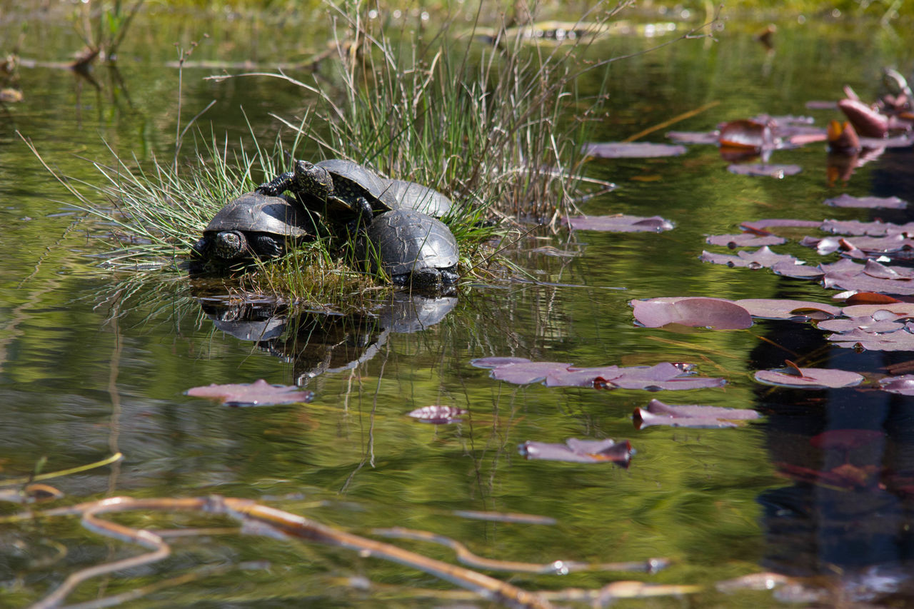 animal themes, water, animals in the wild, lake, nature, waterfront, swimming, outdoors, no people, day, animal wildlife, bird, floating on water, one animal, beauty in nature, grass, close-up, black swan, mammal