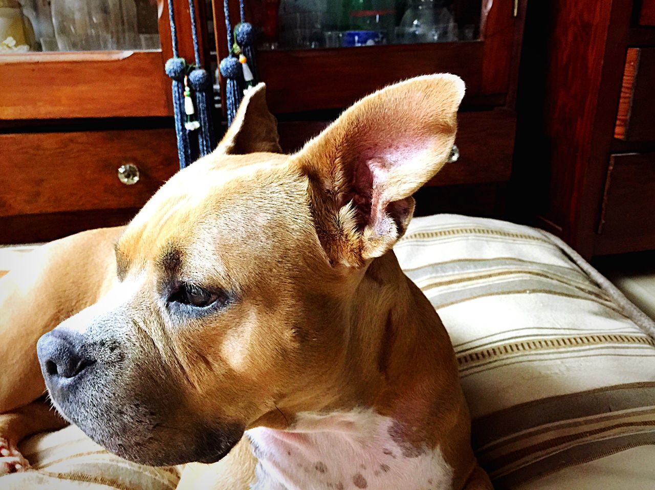 Beautiful stock photos of pitbull, Animal Themes, Bed, Canine, Carnivora